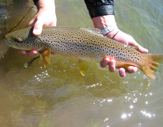Blackfoot River Brown Trout