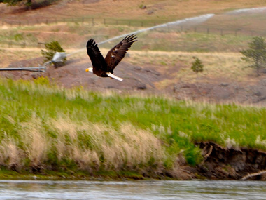 Bald Eagle while on Montana Fly Fishing Rivers