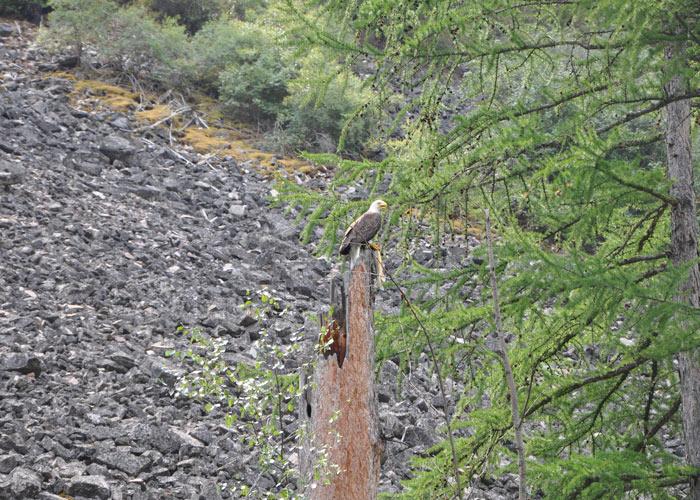 Clark Fork Bald Eagle